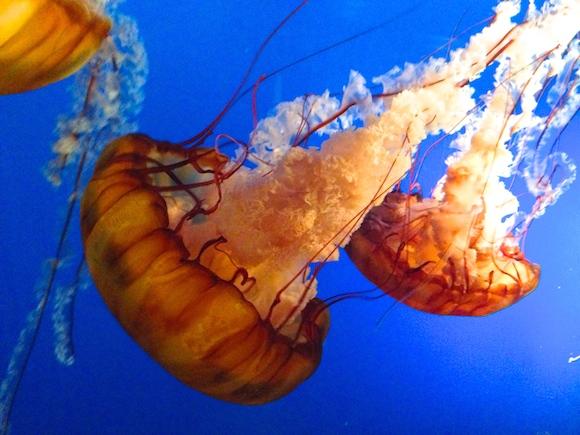 Vancouver Aquarium jellyfish
