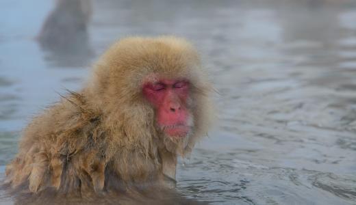 世界で唯一温泉に入るお猿さんが見れる!地獄谷温泉でスノーモンキーに会ってきた!