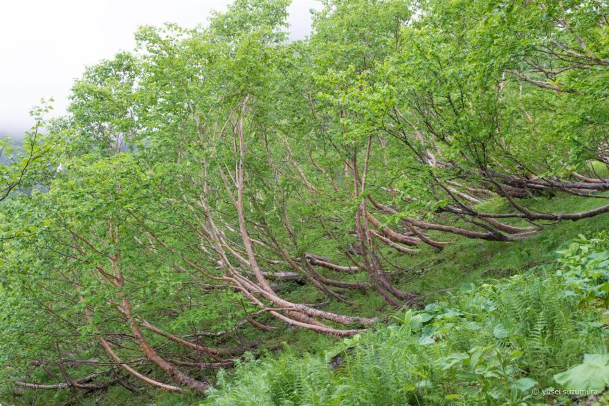 風 北岳 樹木 変形