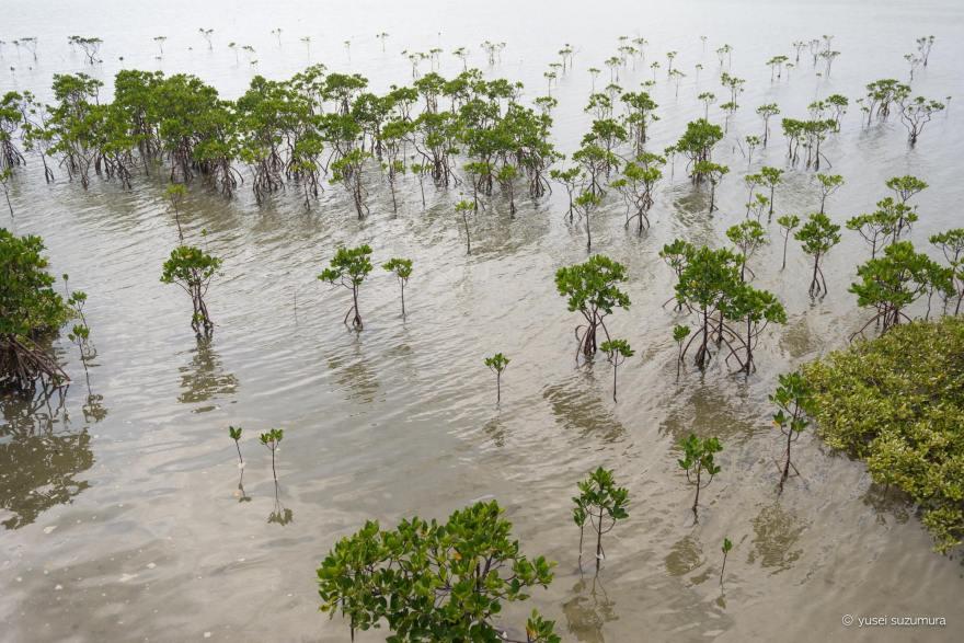 マングローブ 小浜島