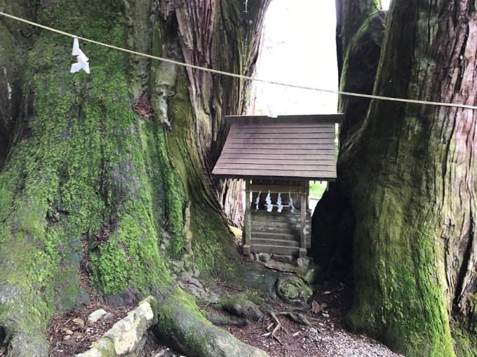 萩日吉神社の児持杉