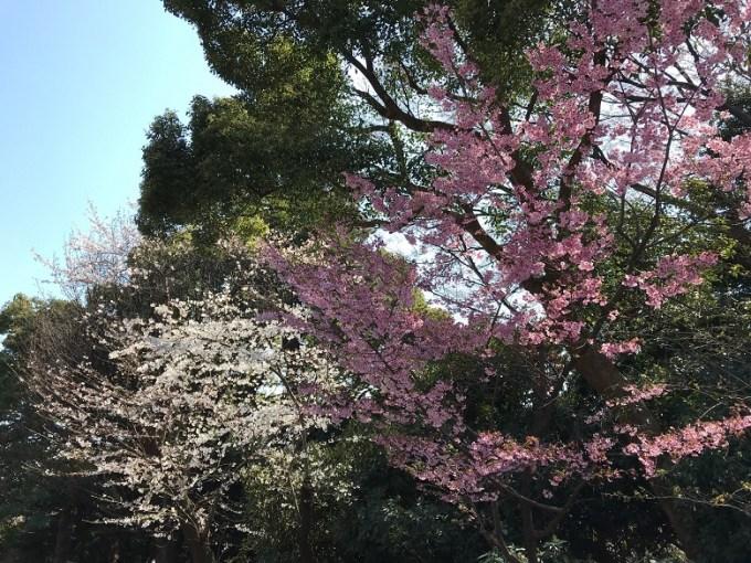 靖国神社桜1