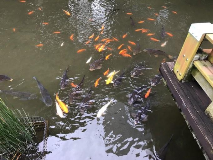 東郷神社鯉