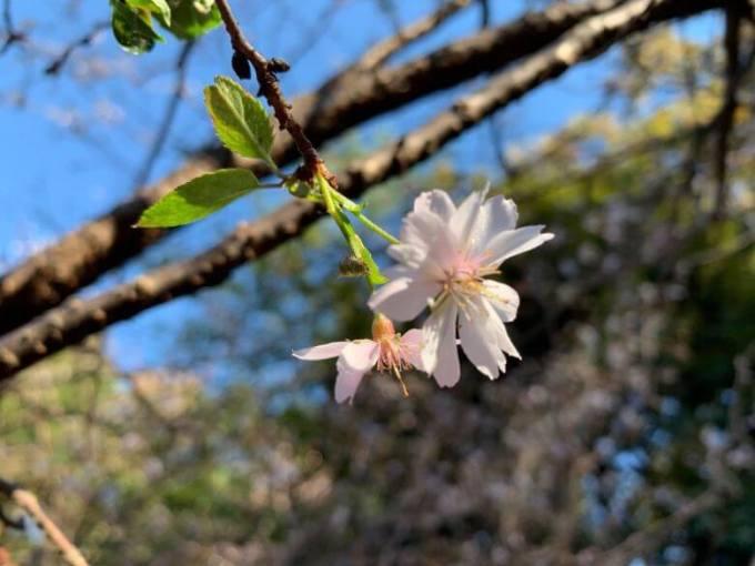 櫻木神社桜の花