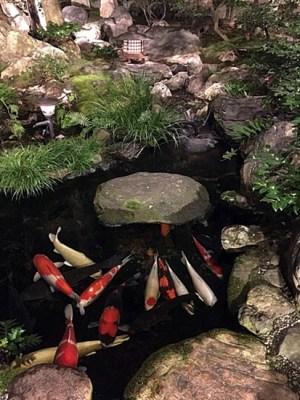 あるお店の池の鯉
