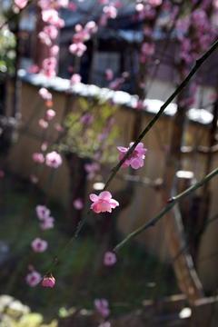 庭のしだれ梅