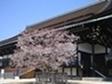 京都御所紫宸殿 左近の桜
