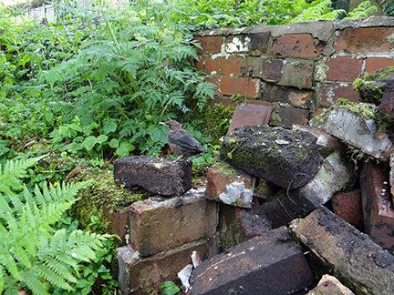 baby blackbird on a pile of bricks