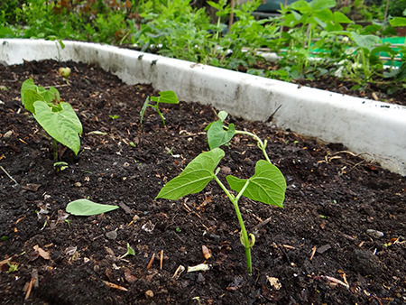 Growing bean seedlings on our allotment in May 2015