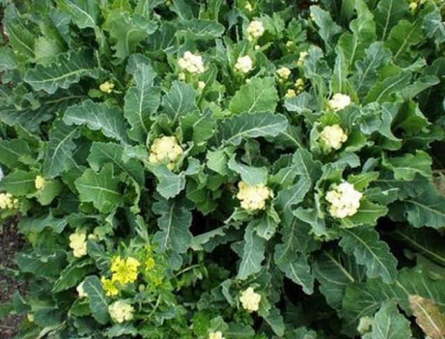 Brassica oleracea botrytis asparagoides - Broccoli, Nine Star Perennial