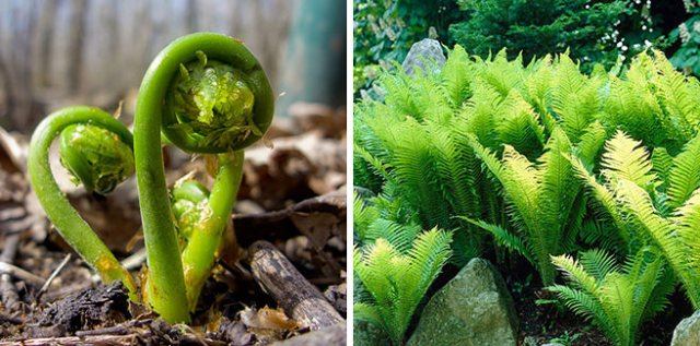 Matteuccia struthiopteris - ostrich ferns and fiddleheads
