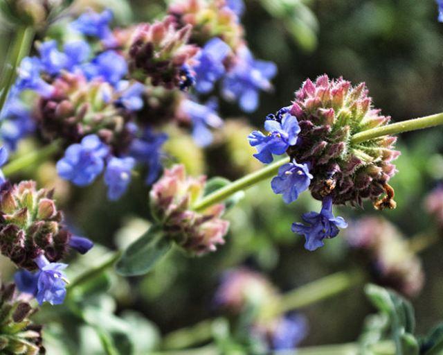 Chia flowers