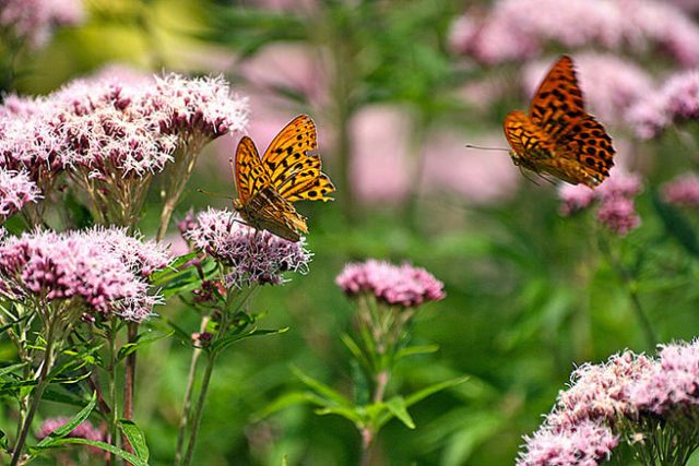 Butterflies on flowers in a garden