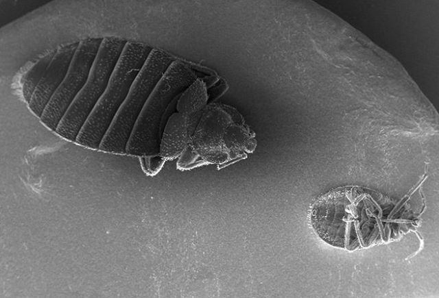 Bedbugs magnified under a microscope
