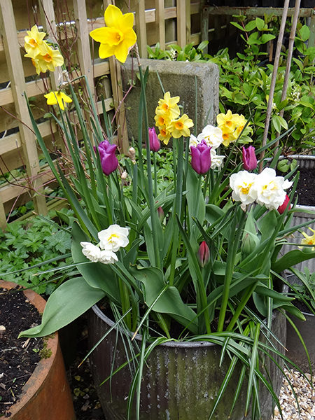 Spring bulbs flowering continuously from January to May and beyond