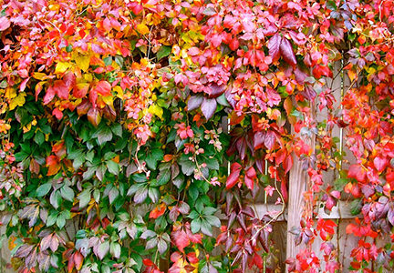 Virginia creeper growing on a wooden fence