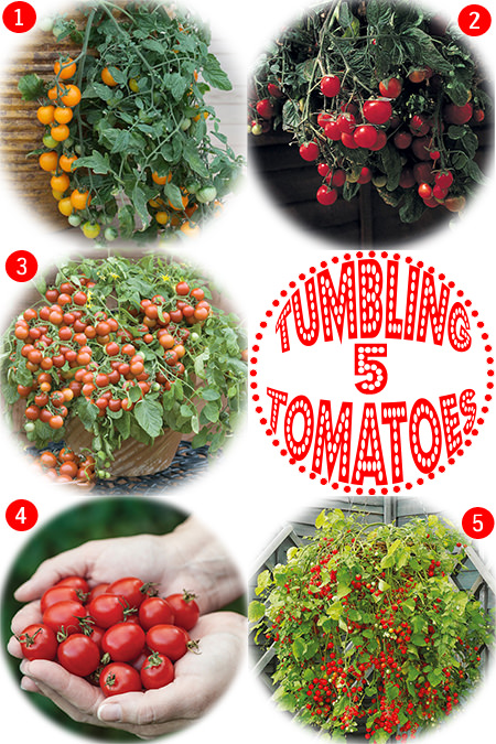 Selection of 5 types of tumbling tomatoes