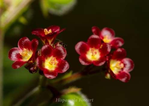 Jatropha gossypifolia