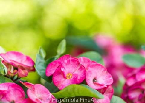 Euphorbia milii,christusdorn