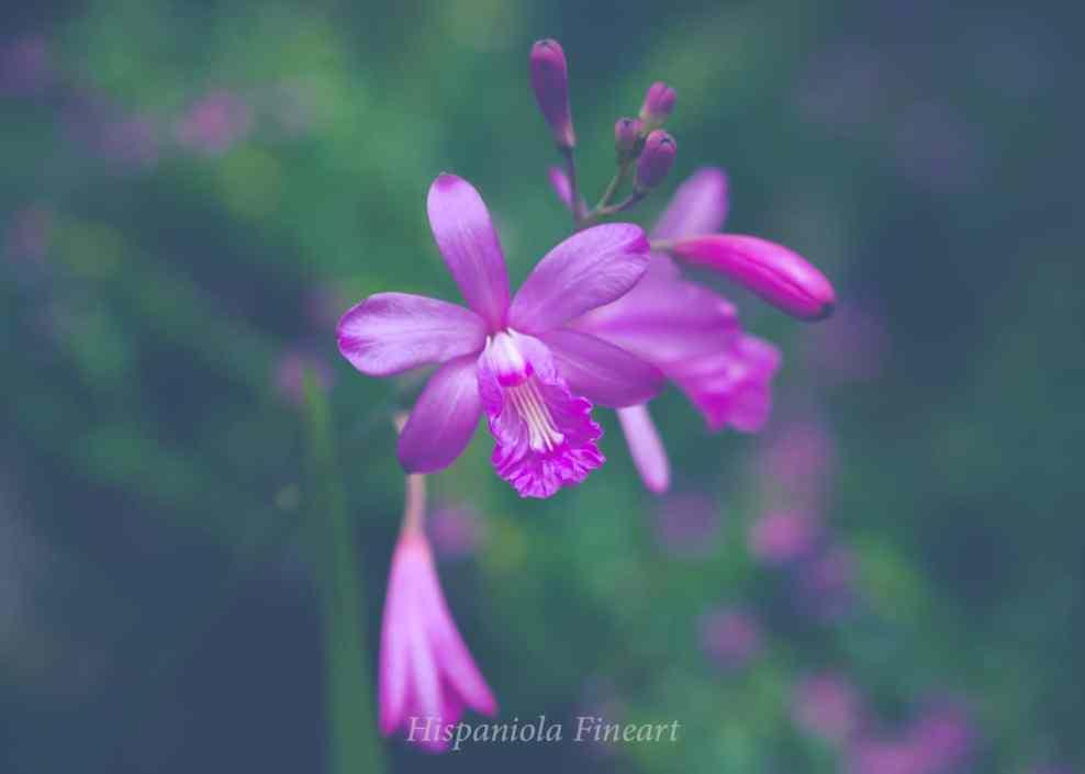 orquídea silvestre