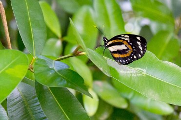 Large Tiger Mimic / Lycorea halia cleobaea