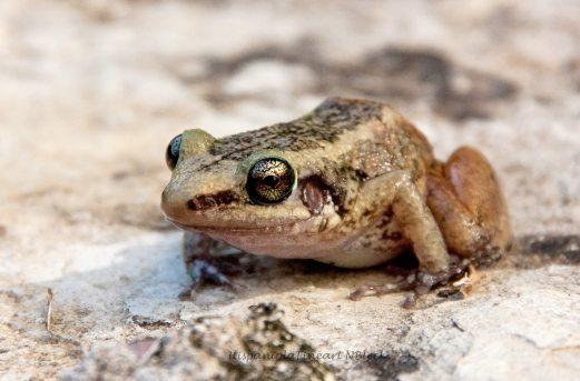 Hispaniolan Red-rumped Frog / Eleutherodactylus paralius