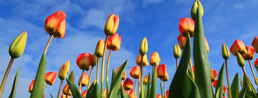 photo de tulipes jaunes et rouges sur fond de ciel bleu