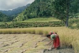hautes vallées de l_Himalaya Récolte_de_riz