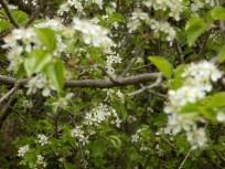 Prunus mahaleb. Semaines 13 à 15.