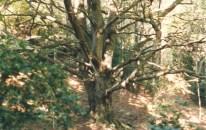 Hêtre remarquable du Bosc d'en Baillette en 1995.