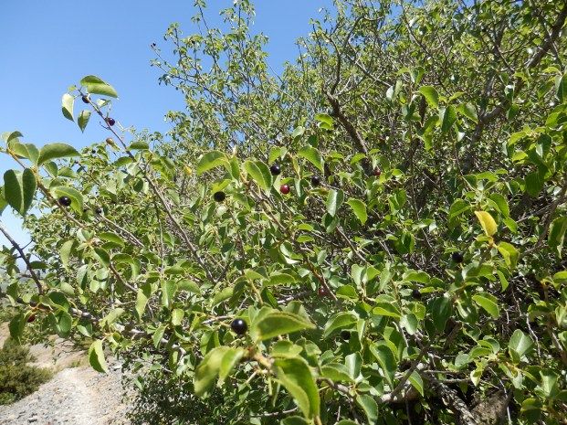 Prunus mahaleb. Cerisier de Ste Lucie. Amatèla, Cereiràs, Malaguet ( Oc ). Cerises de la grosseur d'un pois.