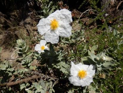 Ciste cotonneux blanc en semaine 18. Nous le supposons être issu de C. laurifolius sinon C. salvifolius X C. albidus ?