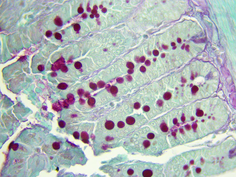 Human intestine PAS