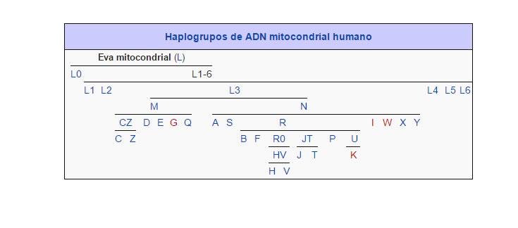 Haplogrupos de ADN mitocondrial humano