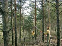 Ejecución de una poda en altura en un pinar de pino silvestre de la Sierra de la Culebra (Zamora). Una vez señalados los árboles mejor conformados, denominados árboles de porvenir, se poda su fuste hasta una altura determinada con el fin de obtener madera de calidad, normalmente utilizada para la producción de chapa mediante desenrollo.