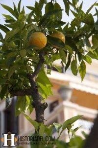 Planta Limonero