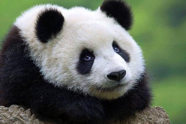 A los pandas no se les puede decir no