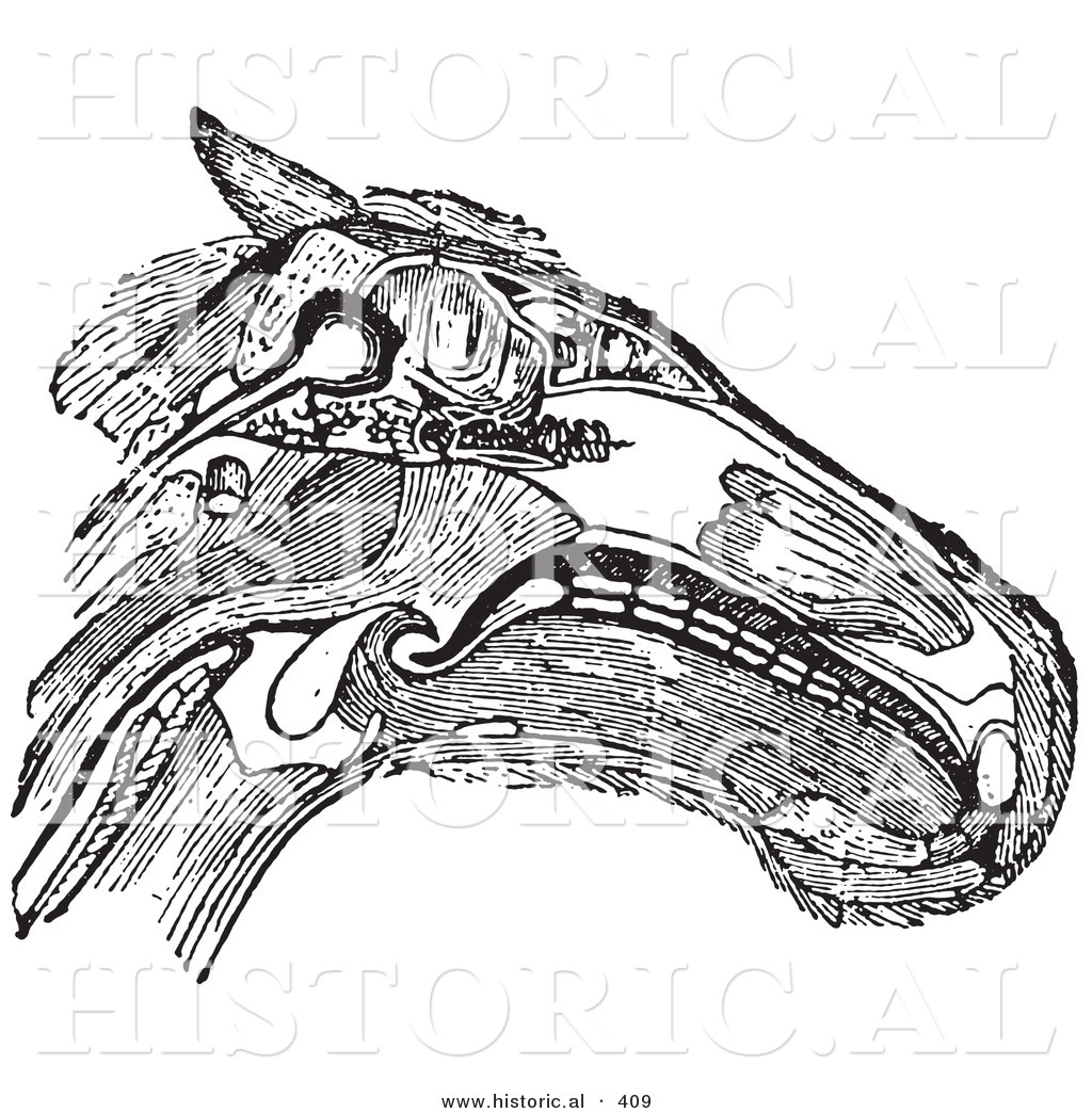 horse muscle and bone diagram 4 way pressure clamp system historical vector illustration of a head