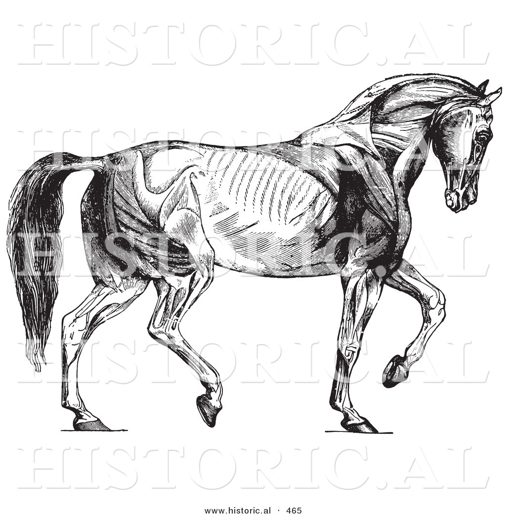 horse muscle and bone diagram how to do a stem leaf historical vector illustration of walking muscles