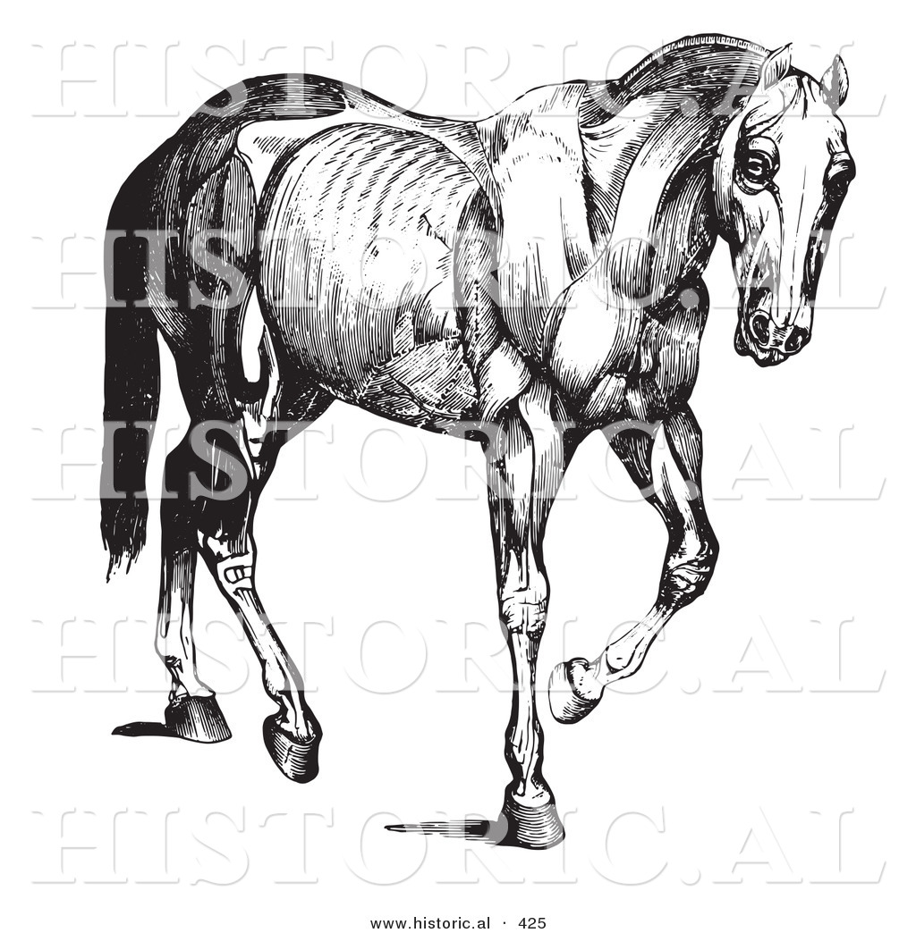 Historical Vector Illustration Of An Engraved Horse