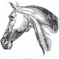 Horse Anatomy Diagram Muscles Bass Guitar Wiring Historical Vector Illustration Of An Engraved Head