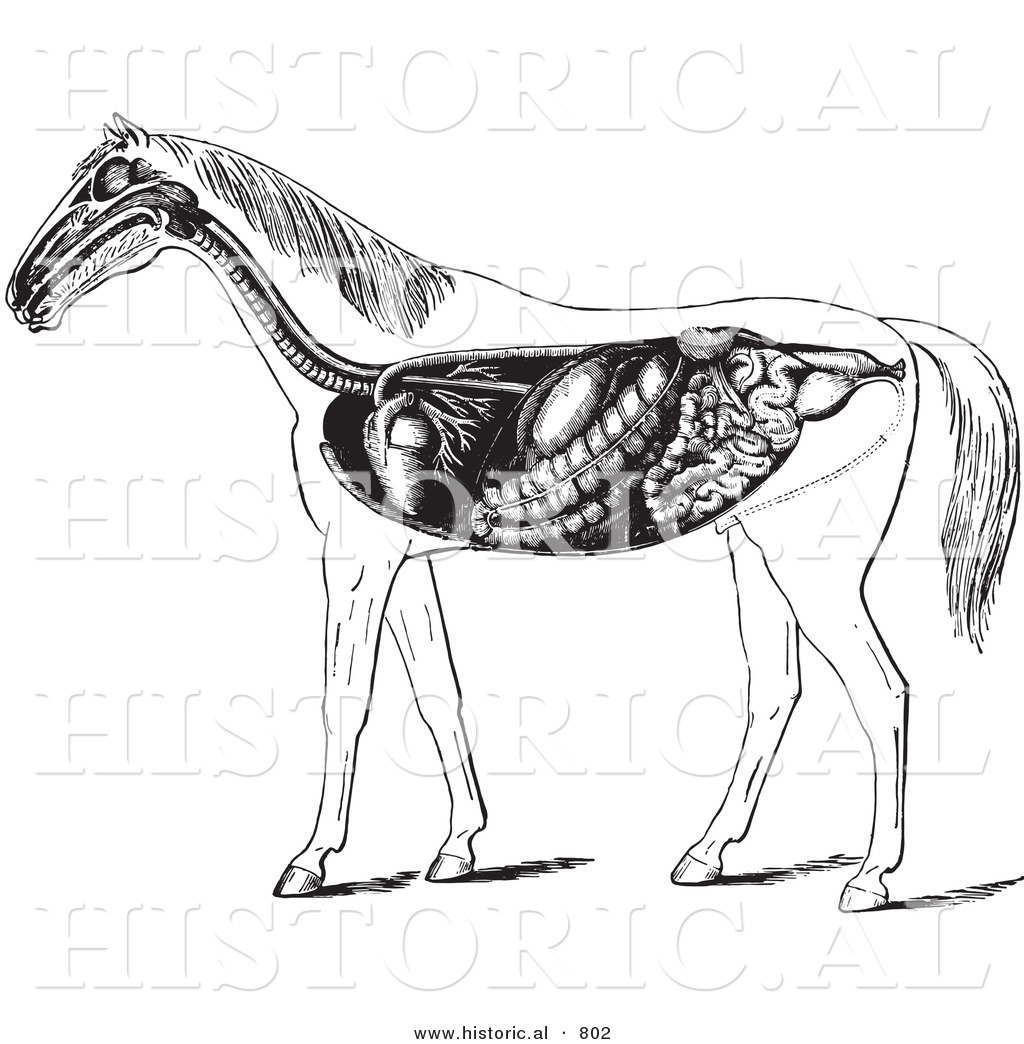 Historical Vector Illustration Of Horse Anatomy Featuring