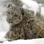 雪豹已經不再是瀕危物種,但牠們還是很脆弱