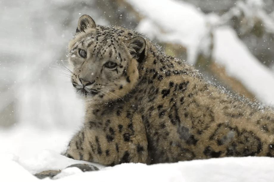 Julie_Larsen_Maher_1474_Snow_leopard_in_snow_02_22_08_hr.0