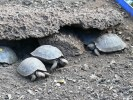 Darwin Research Station -- juvenile tortoises