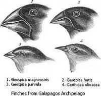 Afbeeldingen van enkele 'Darwinvinken', tekening van de ornitholoog John Gould (1804-1881)