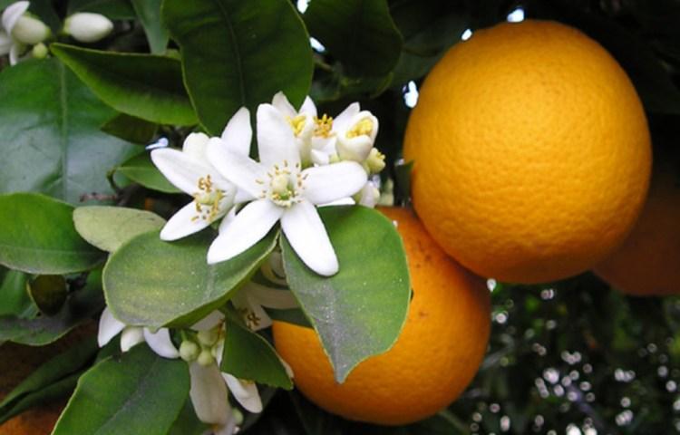 Sinaasappel - Foto: CC/Ellen Levy Finch