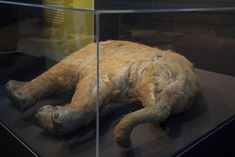 Mammoetbaby in de tentoonstelling (Amsterdam EXPO)