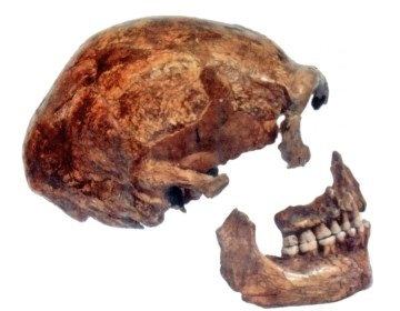 Schedel van een neanderthaler die in 1886 in Spy (België) is gevonden - cc