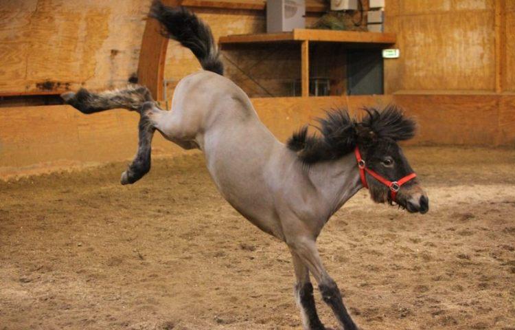 Val van paard leidde tot Leerplichtwet in 1900
